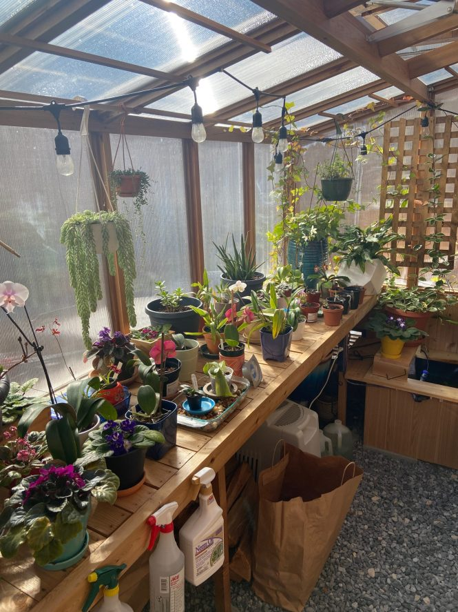 Blooming orchids in greenhouse
