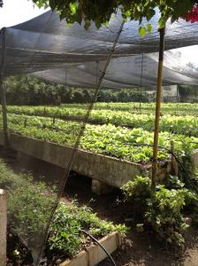 Permaculture Garden Cuba Food Sustainability