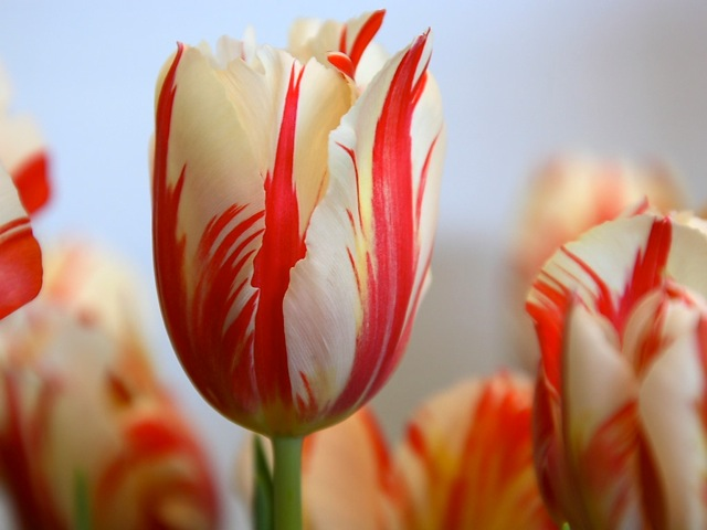 Nature_Flowers_Red_striped_tulip__Flowers_008324_MA28979520-0001