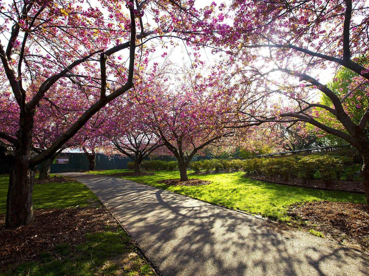 Consisting of more than 20 varieties, BBG's collection of cherry blossom trees is one of the most diverse of its kind in an American botanic garden.
