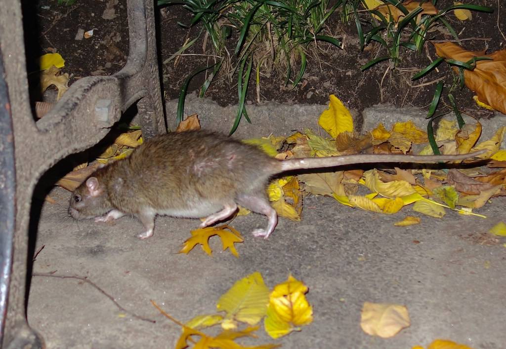 Residents in Prospect Heights, Bedford Stuyvesant, Bushwick and Brownsville report more rat sightings than anywhere else in the city.