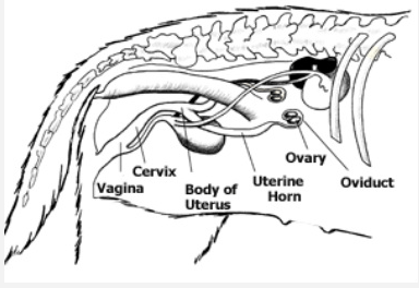 Female Dog Reproductive Anatomy Diagram, Female, Free