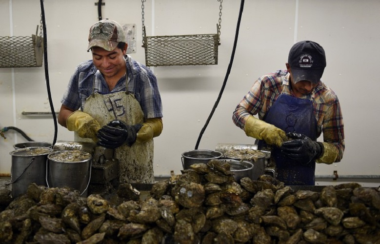 Migrant workers on H-2B visas Adan Pozos Lopez, left, and Rafael Ramirez Cortes work on the assembly line at Harris's Seafood Co's oyster shucking plant in Grasonville, Md., in 2015. (Astrid Riecken/For The Washington Post)