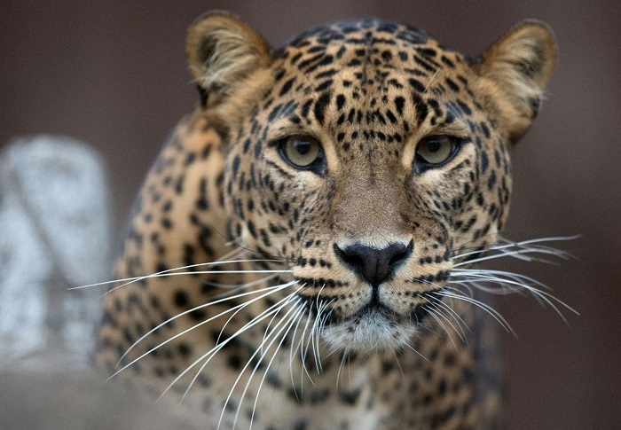 Great A Jaguar Escaped From Its Habitat And Killed Six Animals At The Audubon Zoo  In New Orleans On Saturday, Causing The Zoo To Shut Down For The Day.
