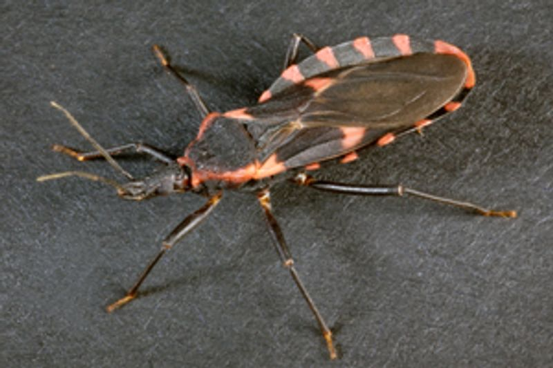 "Triatomines, commonly known as the ""kissing bug,"" could possibly be in Delaware, Centers for Disease Control and Prevention officials say. (Photo: Centers for Disease Control and Prevention)"