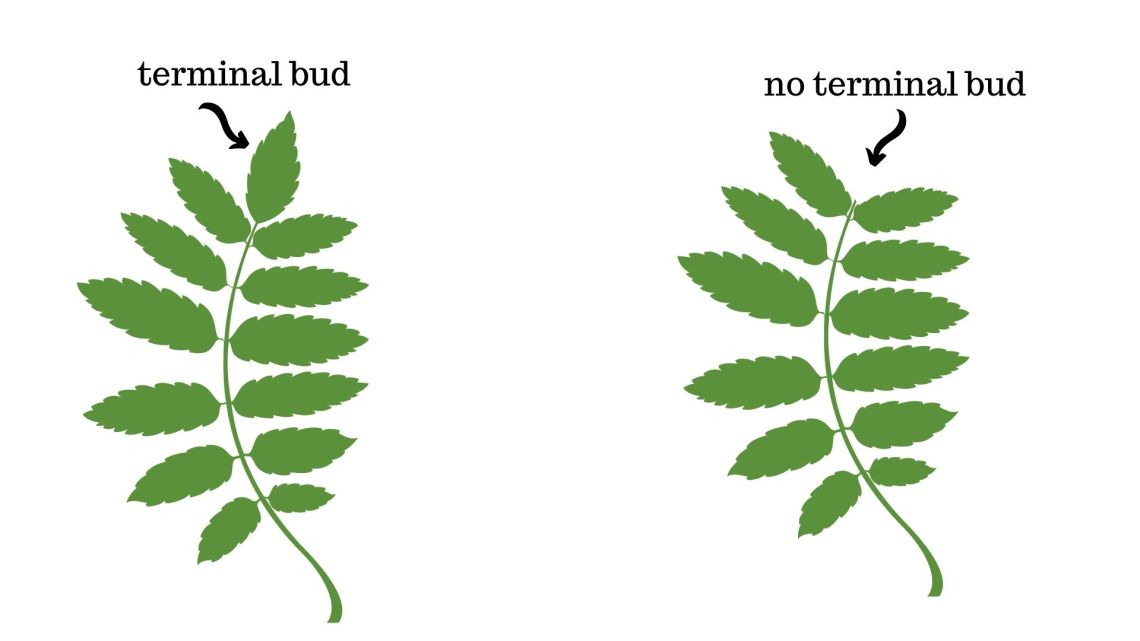 Image for Does the compound leaf structure have a terminal bud?