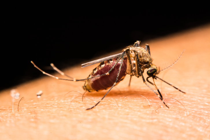 Close-up of a mosquito sucking blood