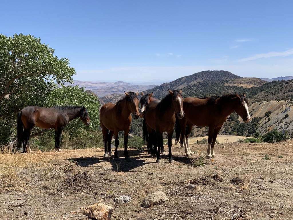 Wild Mustangs on top of a cliff - Virginia City, NV