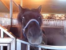 Icelandic-horses-barn