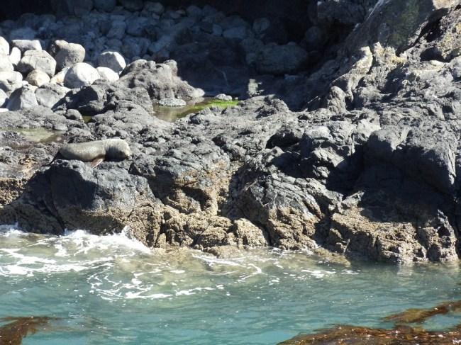 new-zeland-seal