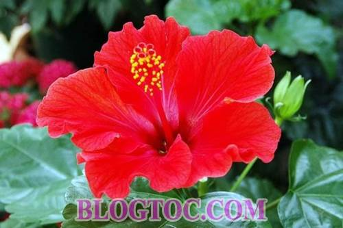 Uses and uses hibiscus in hair beauty 5