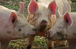 A picture of three pigs