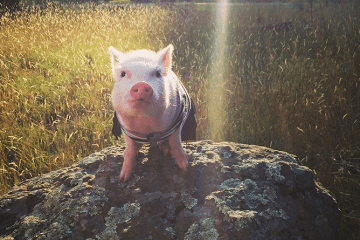 Pig wearing Clothes