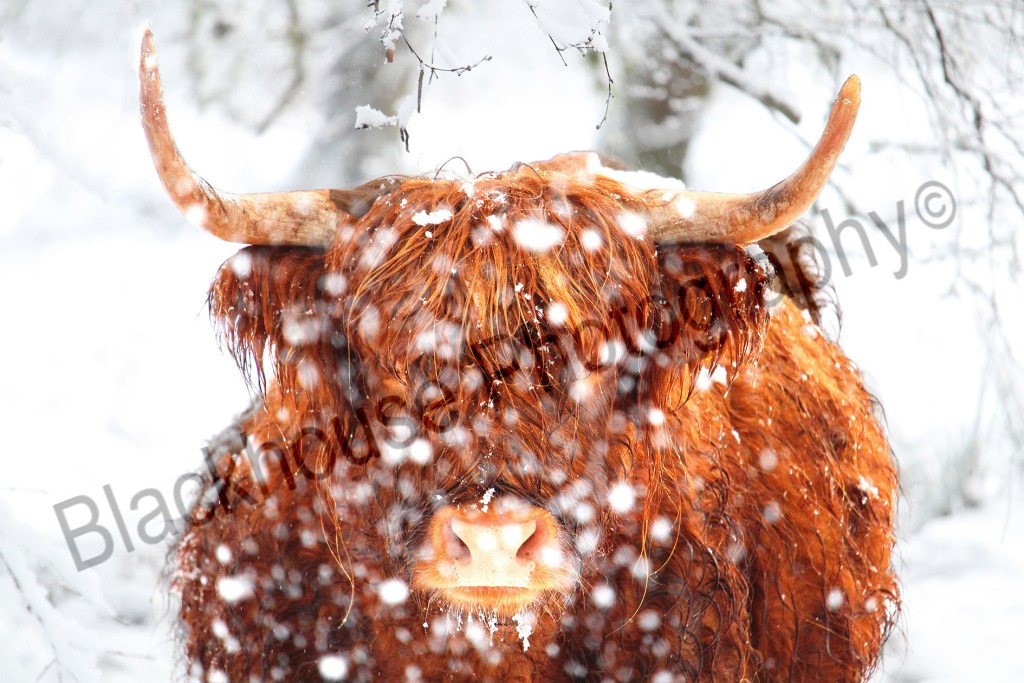 Blackhouse Photography Snowy Highland Cow