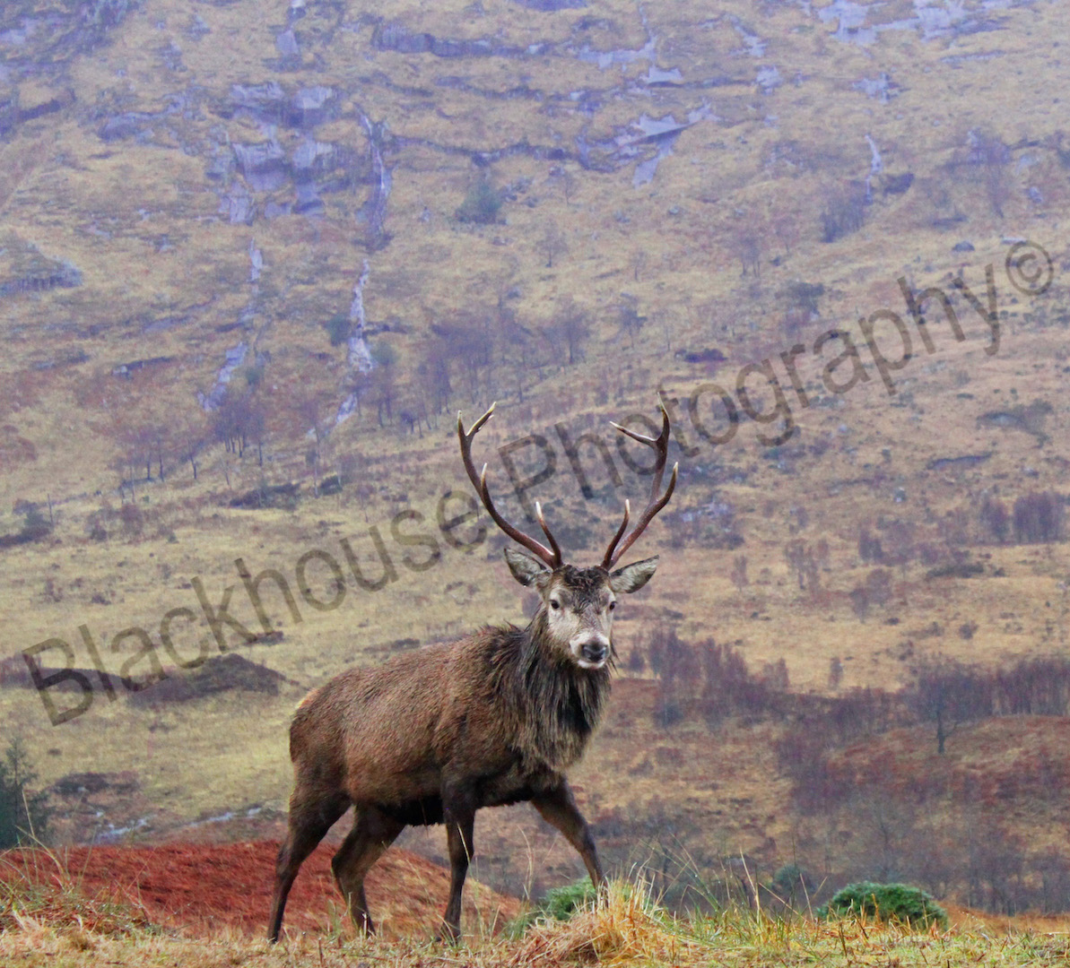 Blackhouse Photography Wild Stag