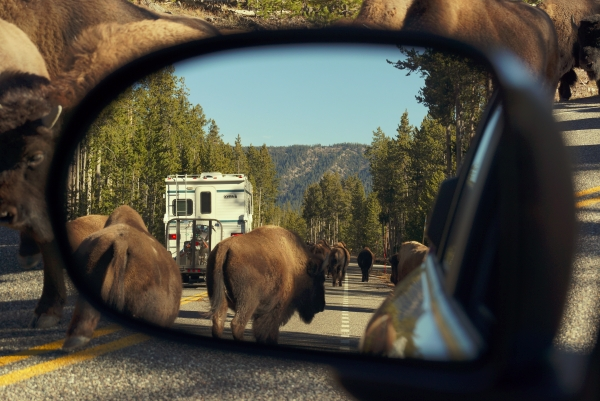bison-in-yellowstone