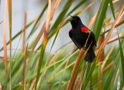 Red-winged Blackbird on reed