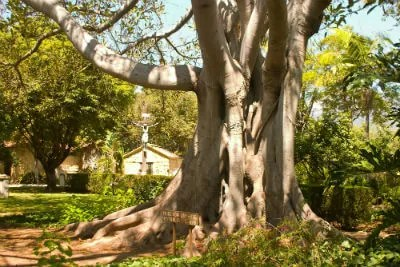 fig tree roots and sewer line repair San Diego CA