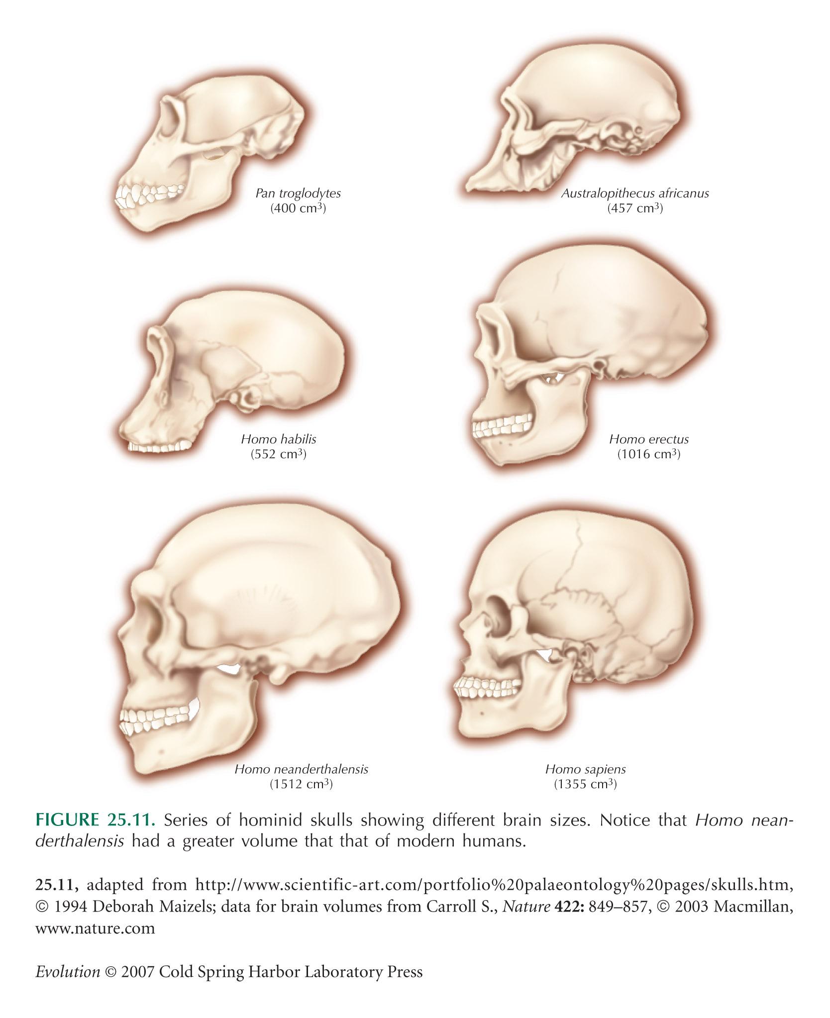 chimpanzee skull diagram 1998 jeep wrangler headlight wiring the price of intelligence  evolution human brain