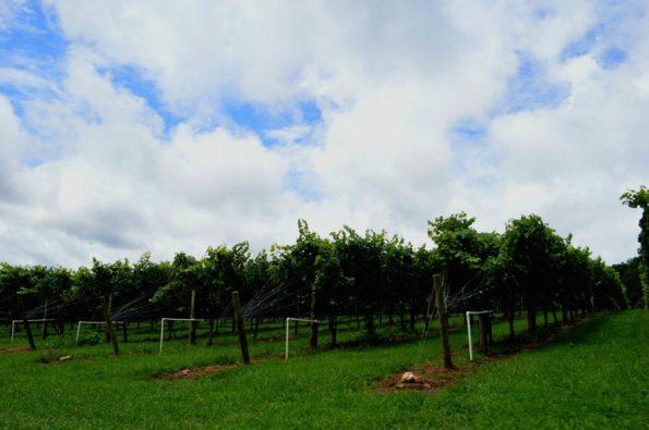 CavenderCreek-vineyards-595x395 Wineries in Dahlonega, GA That You Must Try