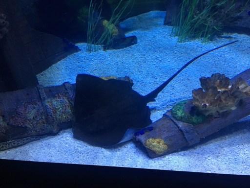 Stingray at the Houston Aquarium