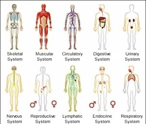 Other human body systems