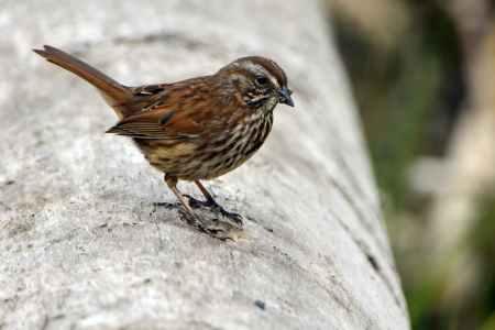 close up photo of brown sparrow bird