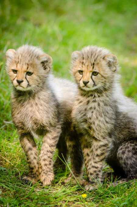 cheetahs-cubs-two-together-162318.jpeg