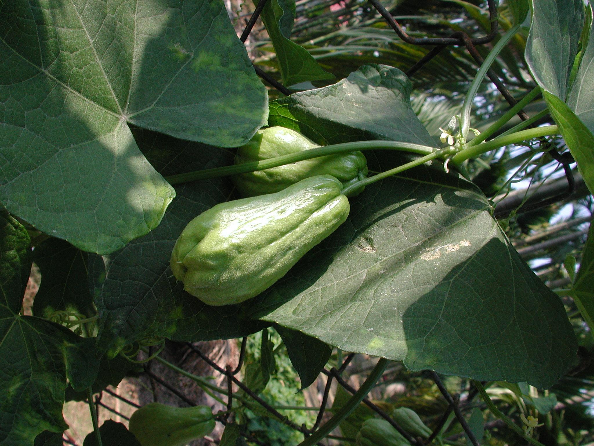 賞雌雄花–100年菜市場植物學(佛手瓜與龍鬚菜) | 黑胡桃網路閣