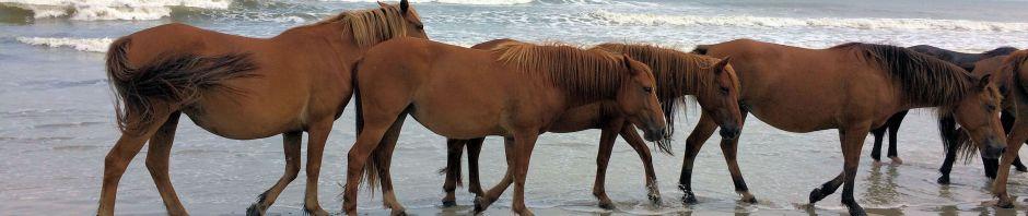 Wild Horses on Corolla beach
