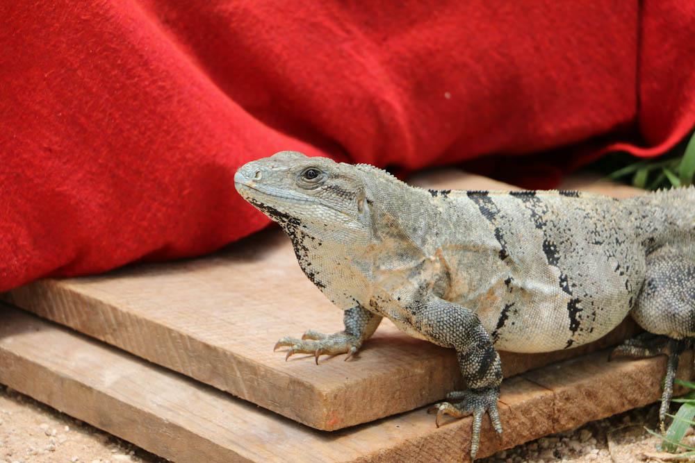 CHICHÉN ITZÁ: auf dem Gelände gibt es freilaufende Leguane