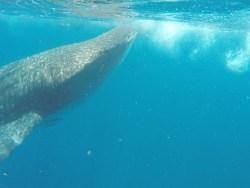 Schnorcheln mit den Walhaien vor Cancun