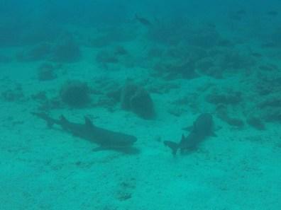 Die Haie waren eher faul und lagen nur so da.