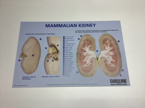 small resolution of kidney dissection chart