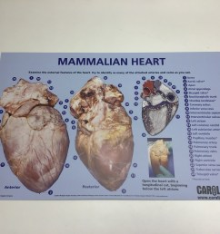 heart dissection chart cba 090 frozen and preserved dissecting guides [ 3264 x 2448 Pixel ]