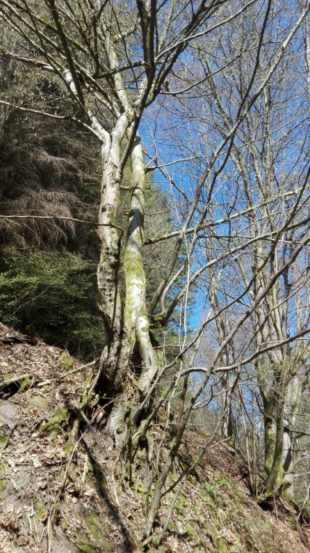 Ruinen Langenthaler Hof - Wald 3