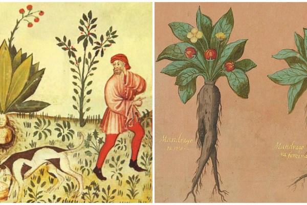 Od antike, kroničari spominju zloglasnu čovjekoliku biljku Mandragoru, koja se može pronaći i na jednom mjestu u Hrvatskoj