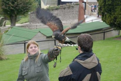 A bird of prey during a falconry display at Combe Martin Wildlife and Dinosaur Park