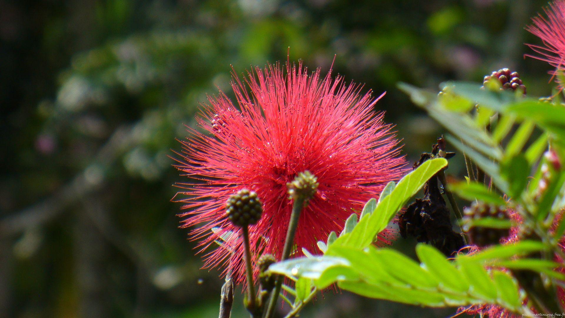 Photo Nature Pompon Rose Fleur Jardin De Balata Martinique Blake S