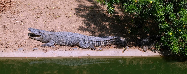 Georges, le crocodile «anafère» de Martinique