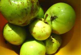 2013 Blantyre Rennet Apples at Greenhall