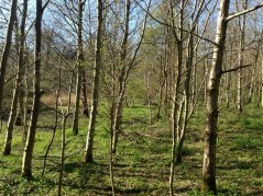 Silver Birch Woodland at Pathfoot (PV)