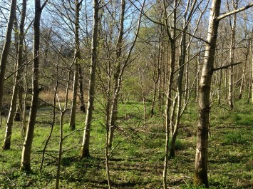 Silver Birch Woodland at Pathfoot (PV)