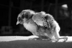 four-legged-chicken03