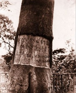 1900 livingstone tree