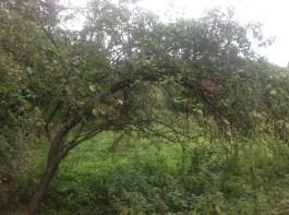 2014 Plum Tree near Crossbasket Tennis Court site