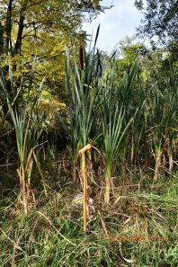 2014 September Bulrushes grow at pech Brae, shared by Andy Bain.