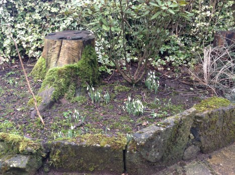 2013 Snowdrops at HIgh Blantyre in January (PV)
