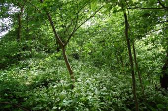 2015 June. Wild Garlic at Bardykes Woods