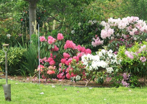 roeses and rhododendron
